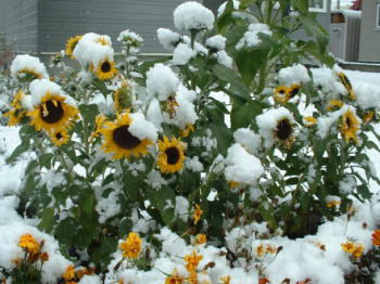 081104初雪と向日葵